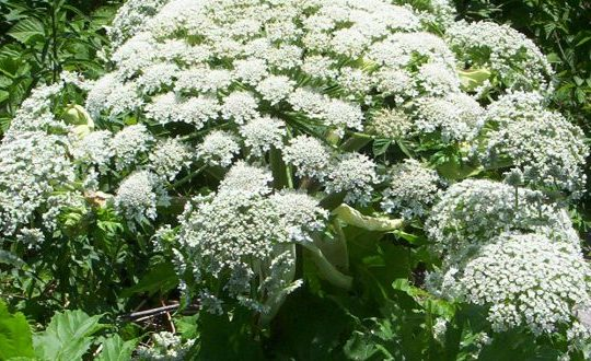 Trade Body Warns of Giant Hogweed Danger